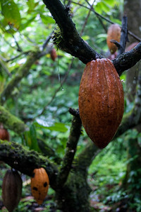 A cacao fruit hanging from a tree at Silico Creek, Panama.