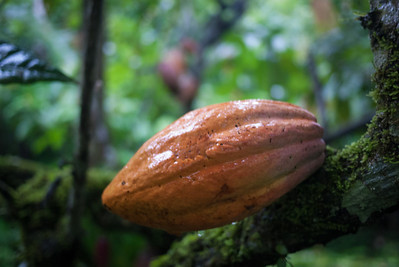 A cacao fruit; they come in several different colors.