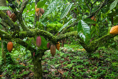 Ripening cacao hulked from the tree branches on one of the cacao plantations at Silico Creek, Panama.