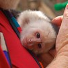 this Capuchin monkey named Monty, who really liked human contact,