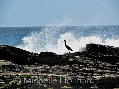 Heron on the Pacific