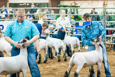 2020130_central_district_sheep-19