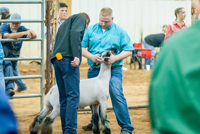 2020130_central_district_sheep-18