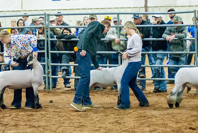 2020130_central_district_sheep-13
