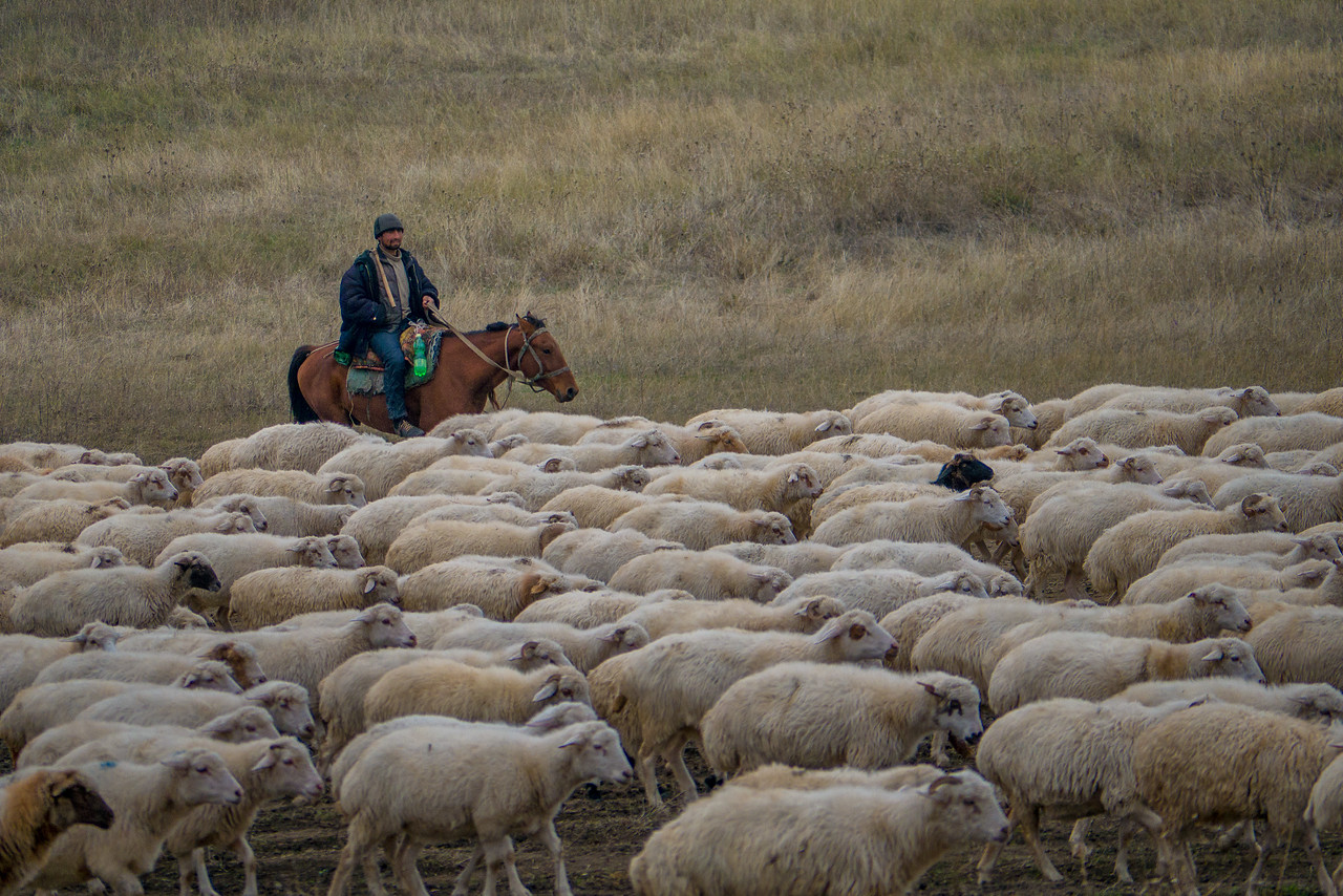 Georgian cowboys shepherd their flocks in the dwindling light of rural Georgia.