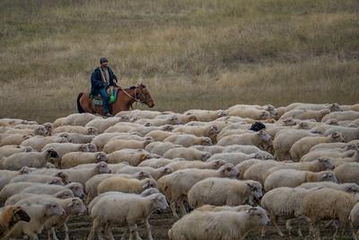 Georgian cowboys shepherd their flocks in the dwindling light of rural Georgia.