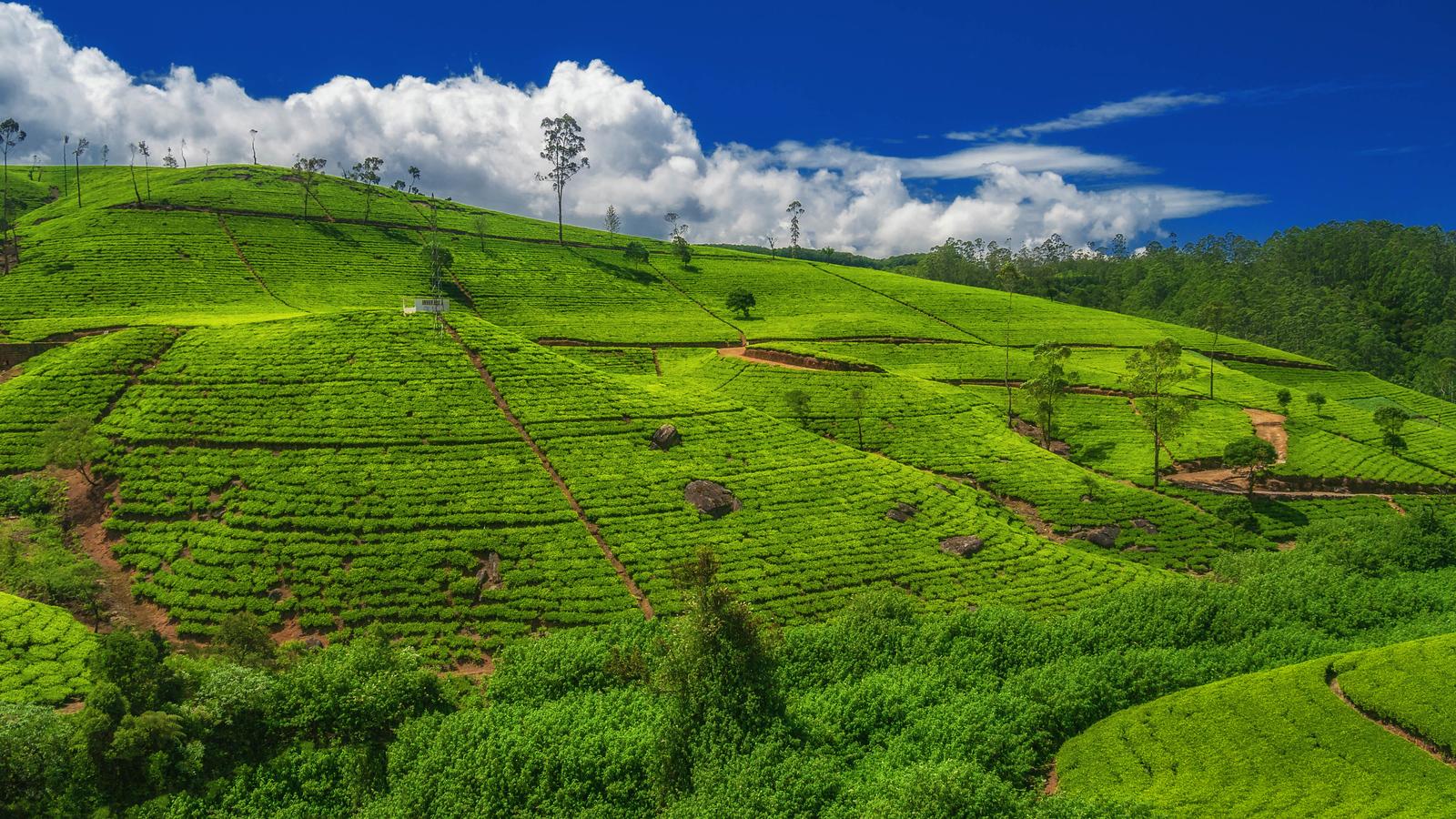 The sprawling tea fields of Ella, Sri Lanka