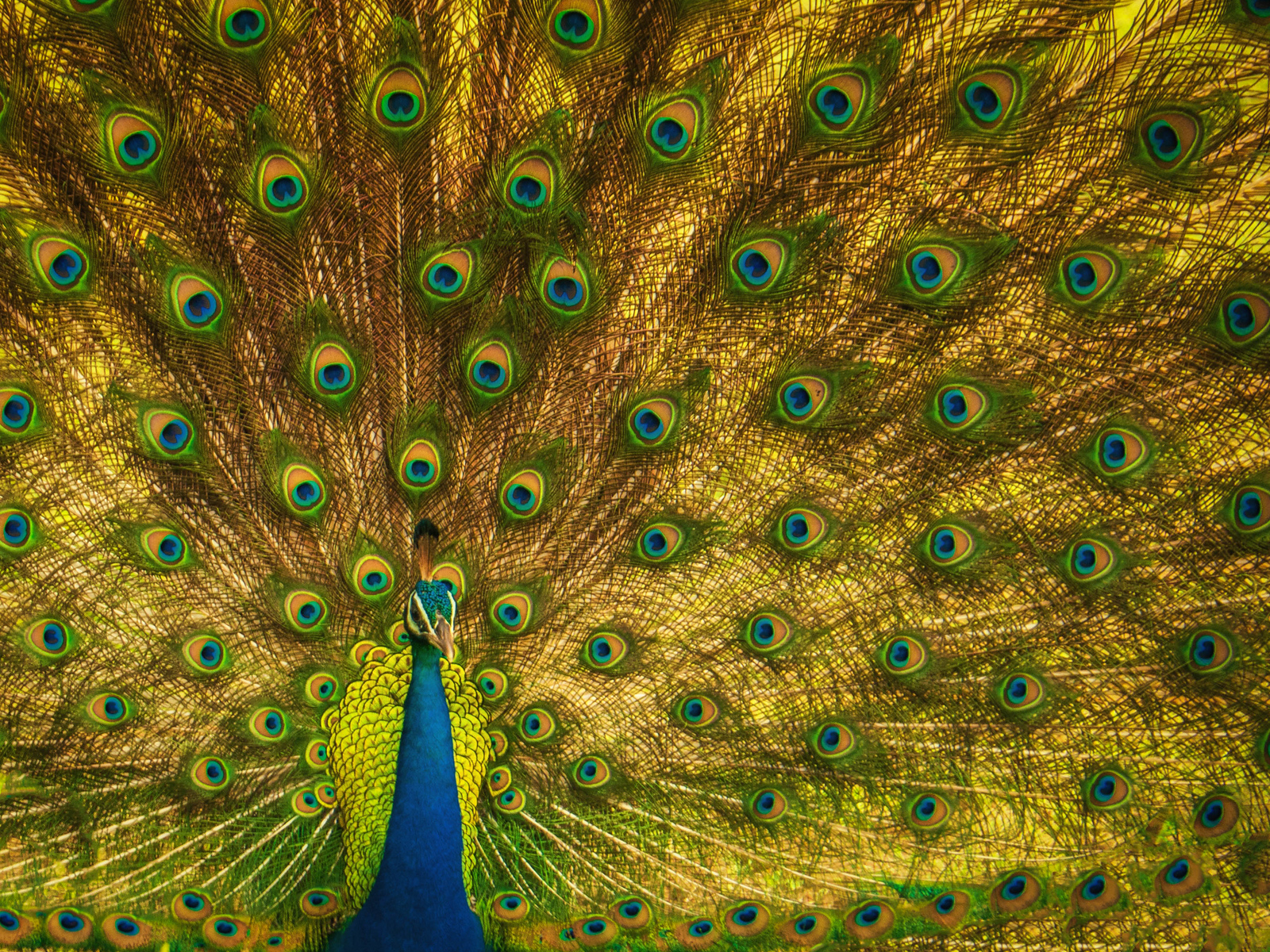 A peacock shows off in Yala National Park