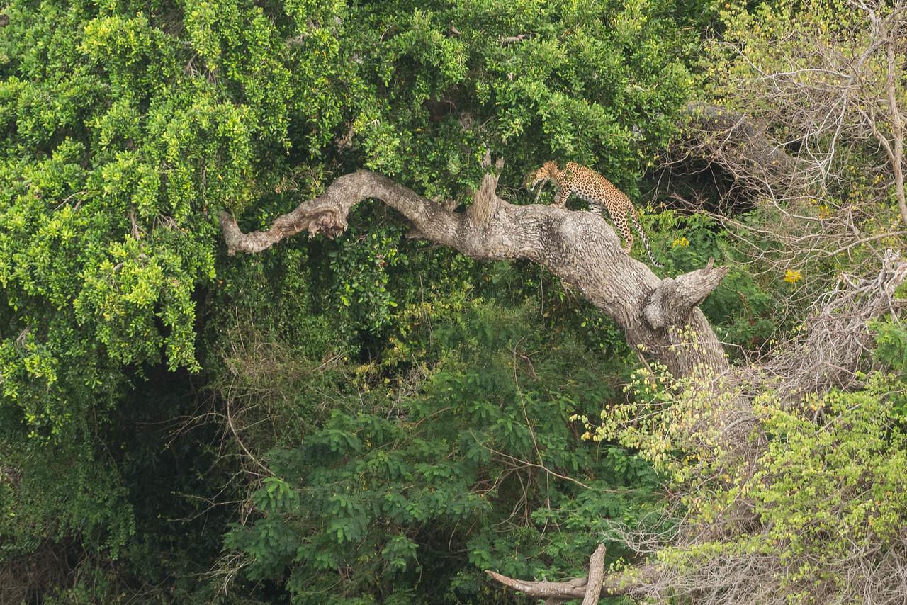 leopard sri lanka safari yala
