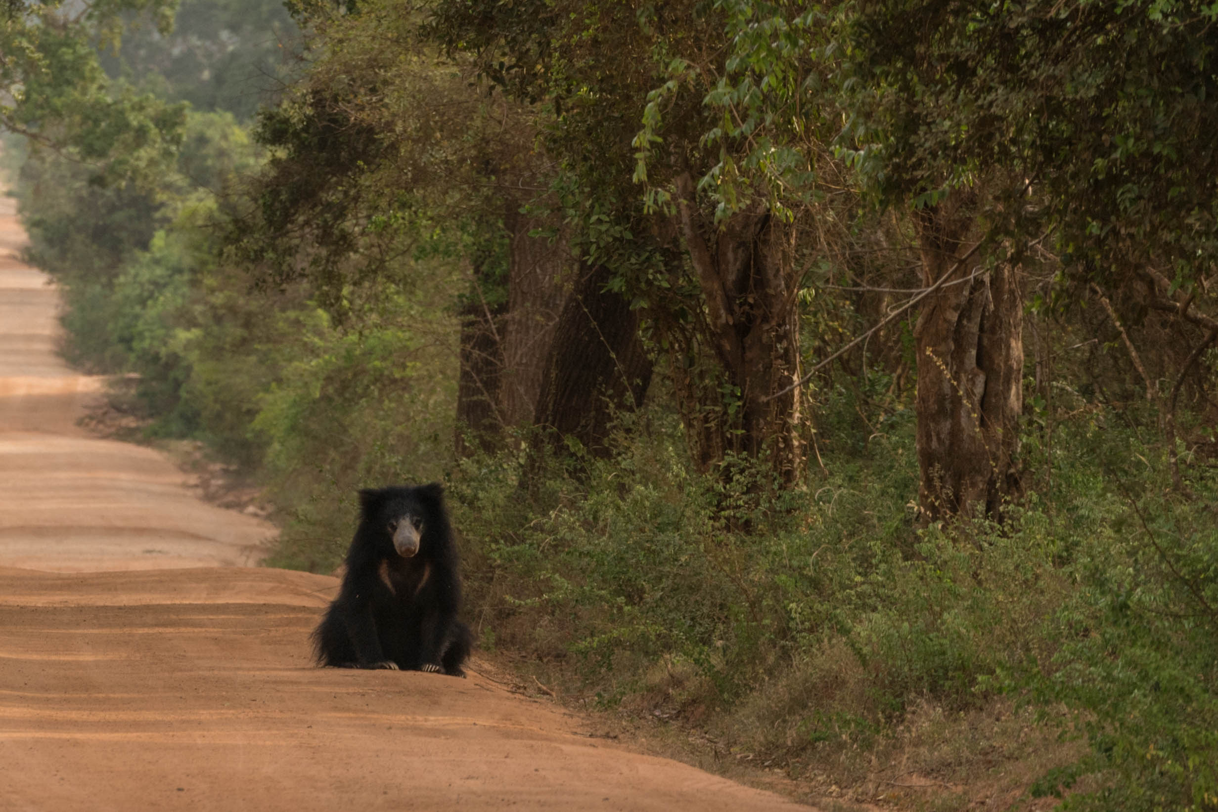 The ever elusive Sloth Bear in Sri Lanka
