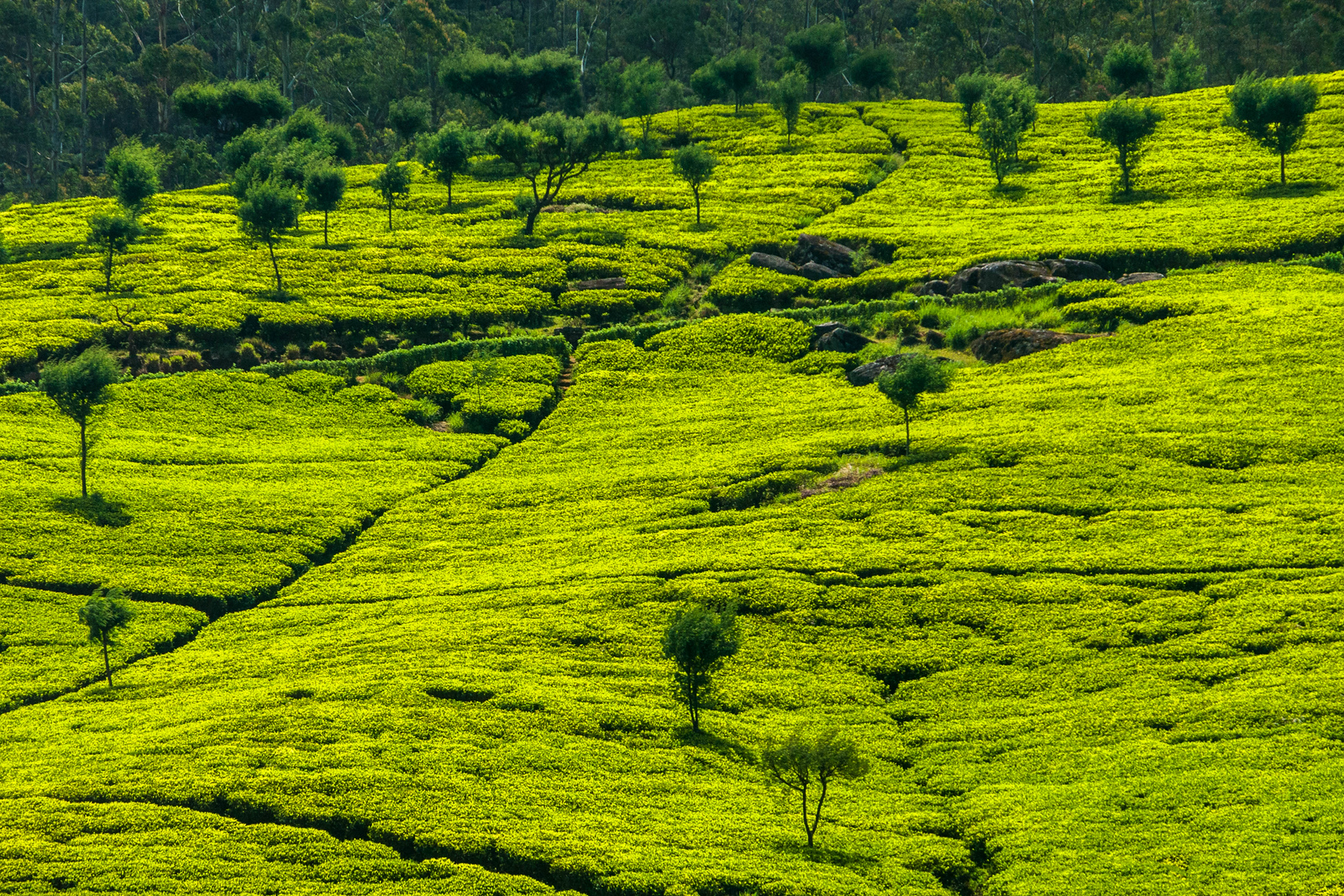 The stunning green hills of Nuwara Eliya, Sri Lanka