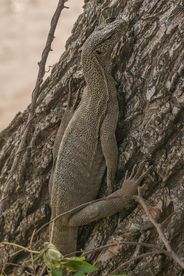 sri lanka safari monitor lizard