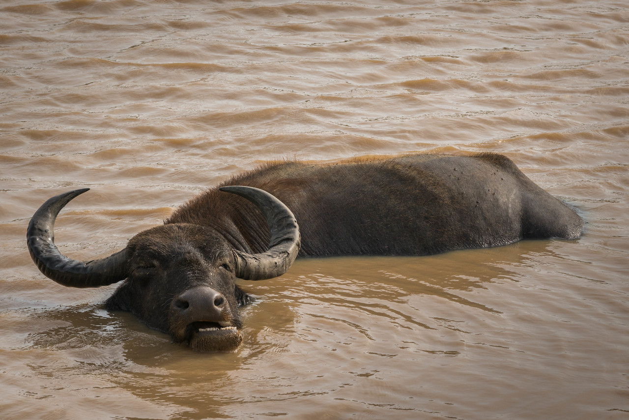 water buffalo Yala