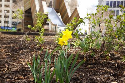 2016 Daffodil Project