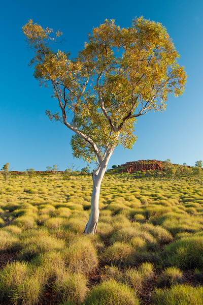 Ghost Gum amongst Spinifex