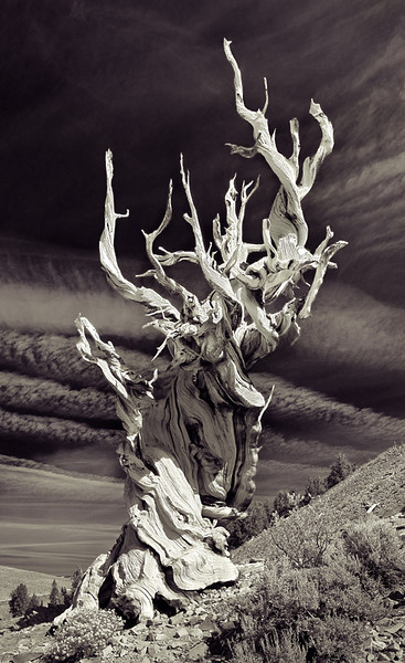 Bristlecone Pine Forest, White Mountains.