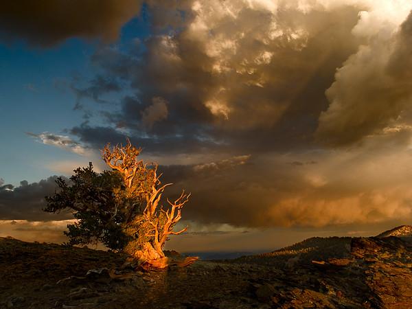 Sunset, Bristlecone Pine, White Mountains.