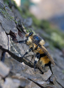 Robber fly mimicking a bumblebee