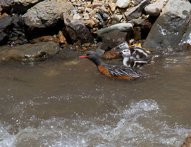 Female torrent duck with chicks