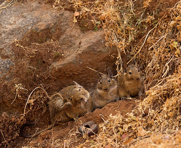 A family of degus in Compana National Park