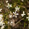 Ricinocarpus Pinifolia