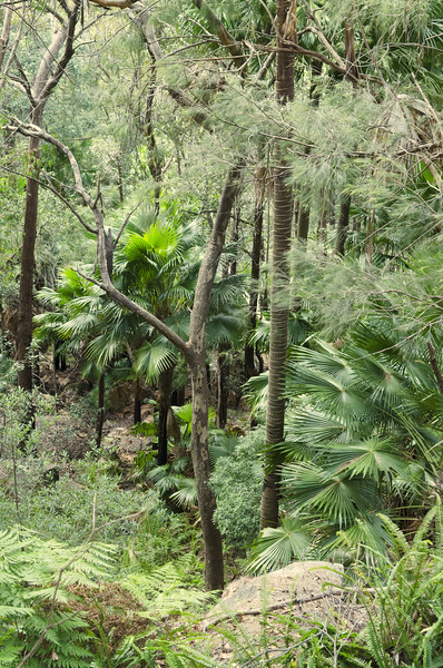 Cabbage tree palms