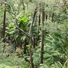 Cabbage tree palms