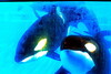 Jack Hanna@SeaWorldOrcasUnderWater02