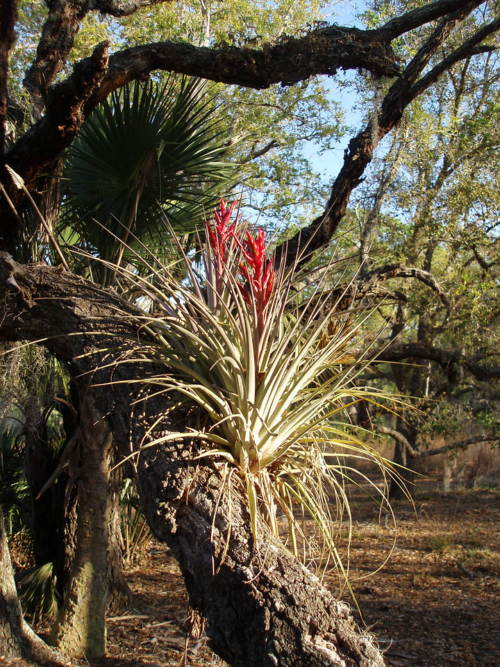 Bromeliads in bloom<br /> PHOTO CREDIT: Robert Coveney / Florida Trail Association