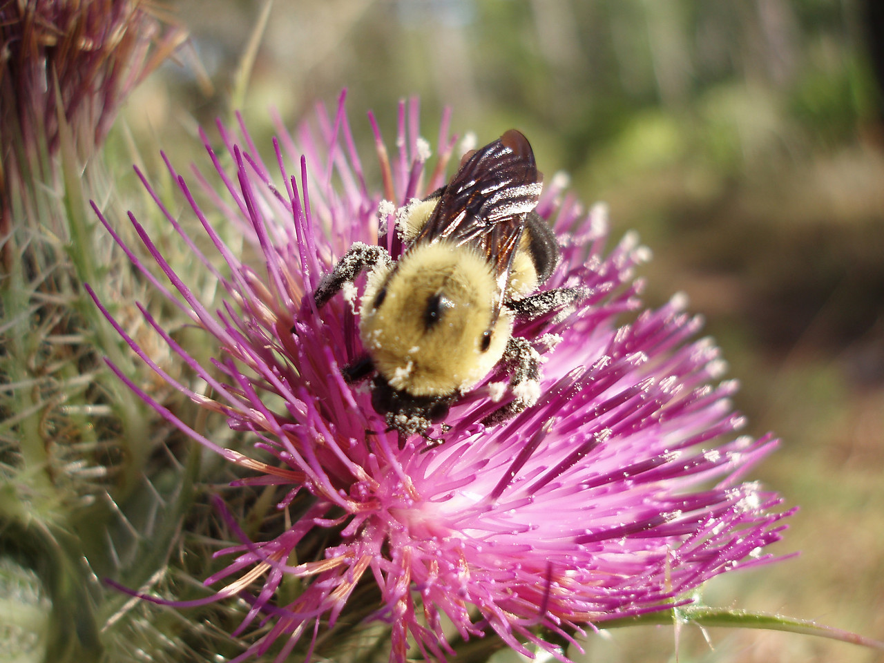 Bee caught busy on a thistle<br /> Photo credit: FTA / Bob Coveney