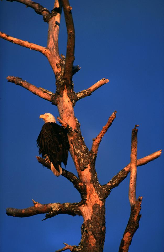 Eagle in tree<br /> location: south of Black Hammock Trailhead<br /> Photo credit: FTA / Bart Smith