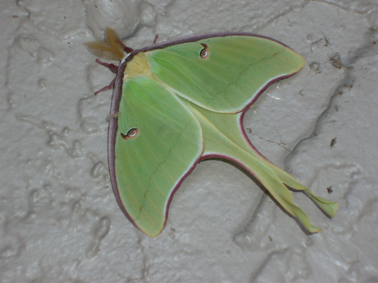 Luna moth<br /> location: Lake Mills Park, Chulouta<br /> Photo credit: FTA / Bob Coveney