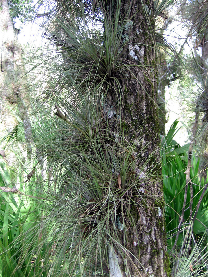 Wild pine<br /> PHOTO CREDIT: Brian OHalloran / Florida Trail Association