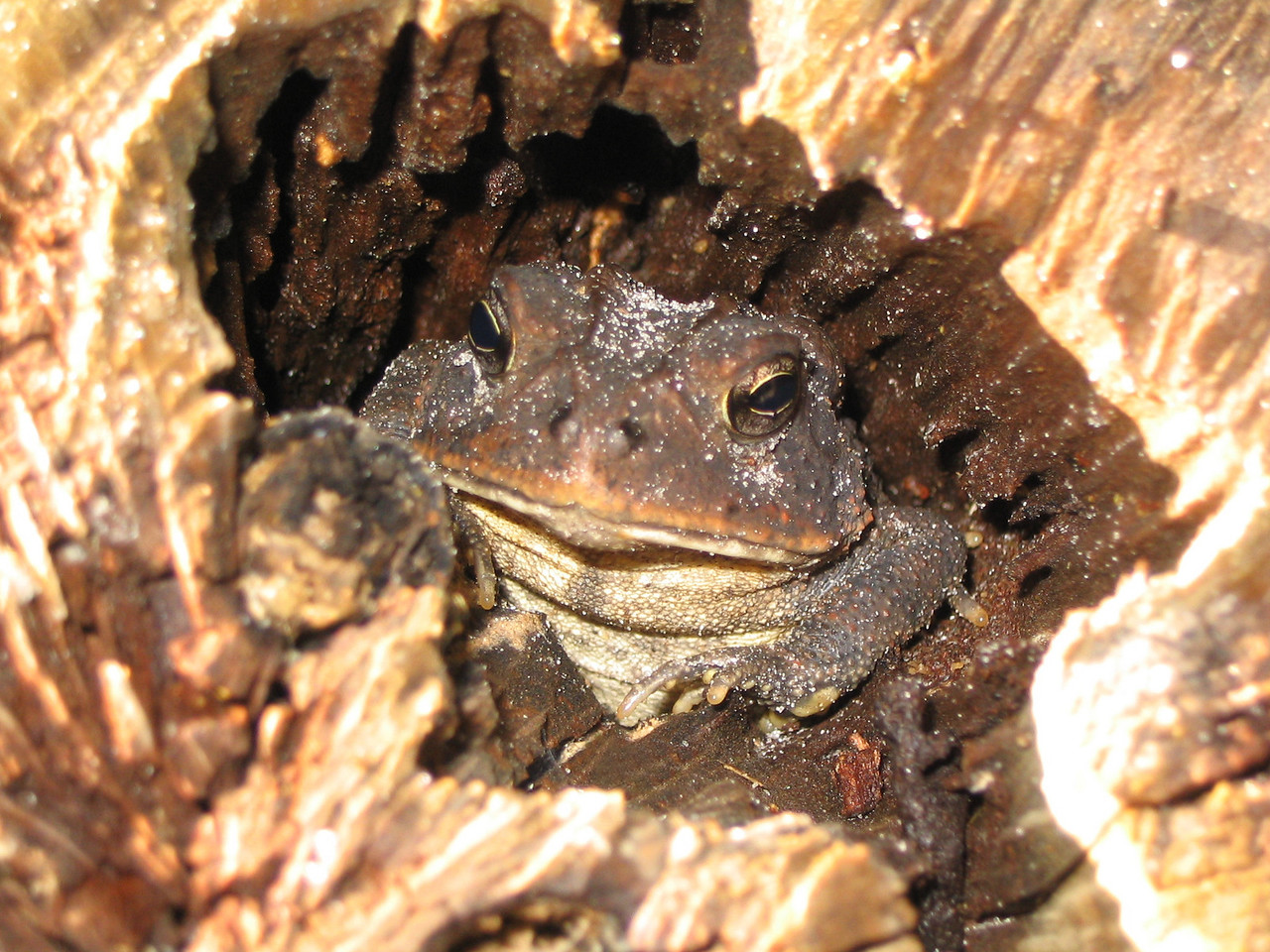 Oak toad<br /> PHOTO CREDIT: Brian OHalloran / Florida Trail Association