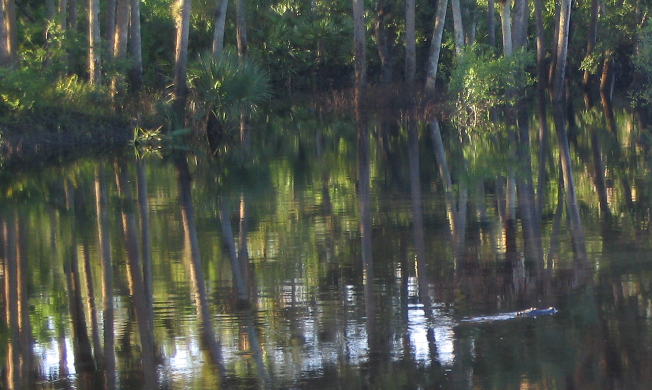 Gator crossing<br /> PHOTO CREDIT: Brian OHalloran / Florida Trail Association