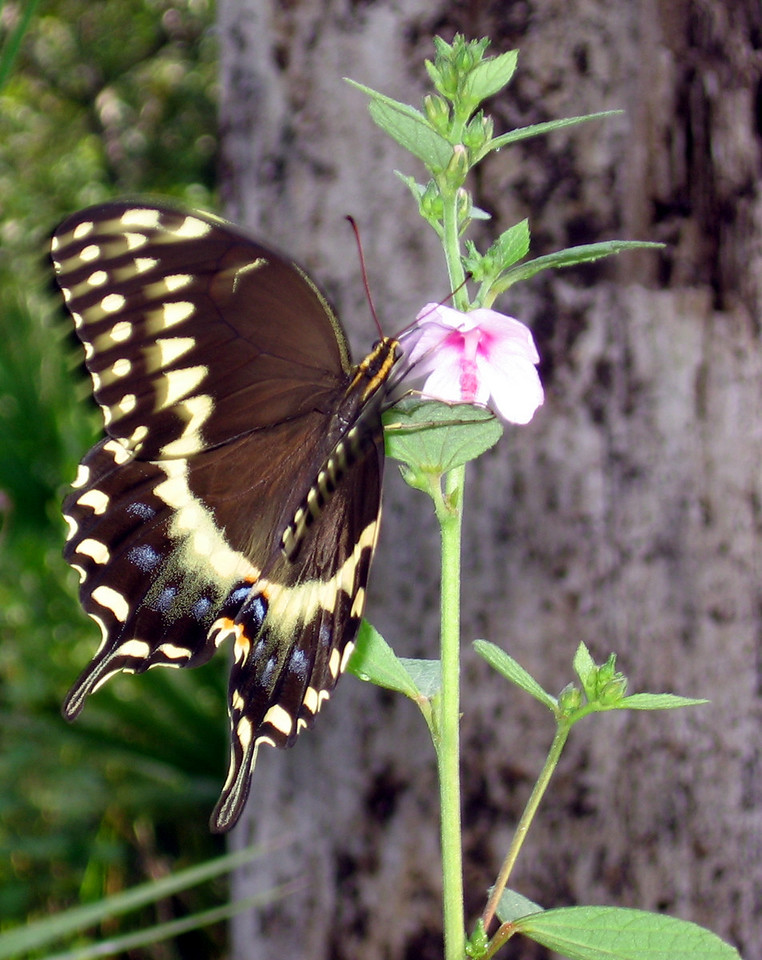 Toger swallowtail<br /> PHOTO CREDIT: Brian OHalloran / Florida Trail Association