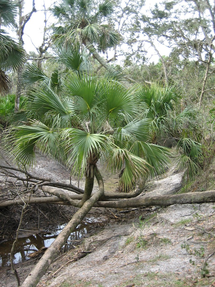 Landmark crossed palms<br /> PHOTO CREDIT: Sandra Friend / Florida Trail Association