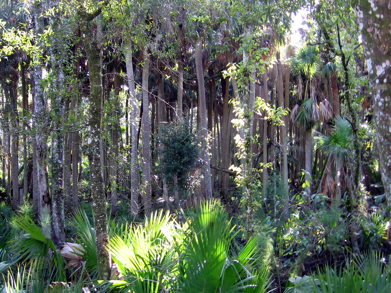 Ancient palms<br /> PHOTO CREDIT: Brian OHalloran / Florida Trail Association