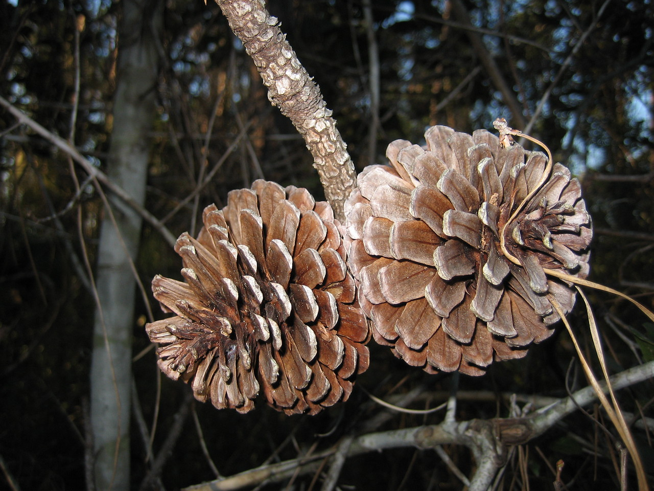 Sand pine cones<br /> PHOTO CREDIT: Sandra Friend / Florida Trail Association