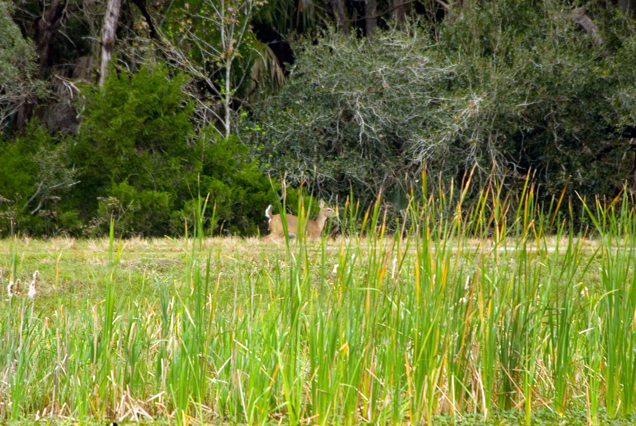 Deer<br /> PHOTO CREDIT: M. Timothy O'Keefe / Florida Trail Association