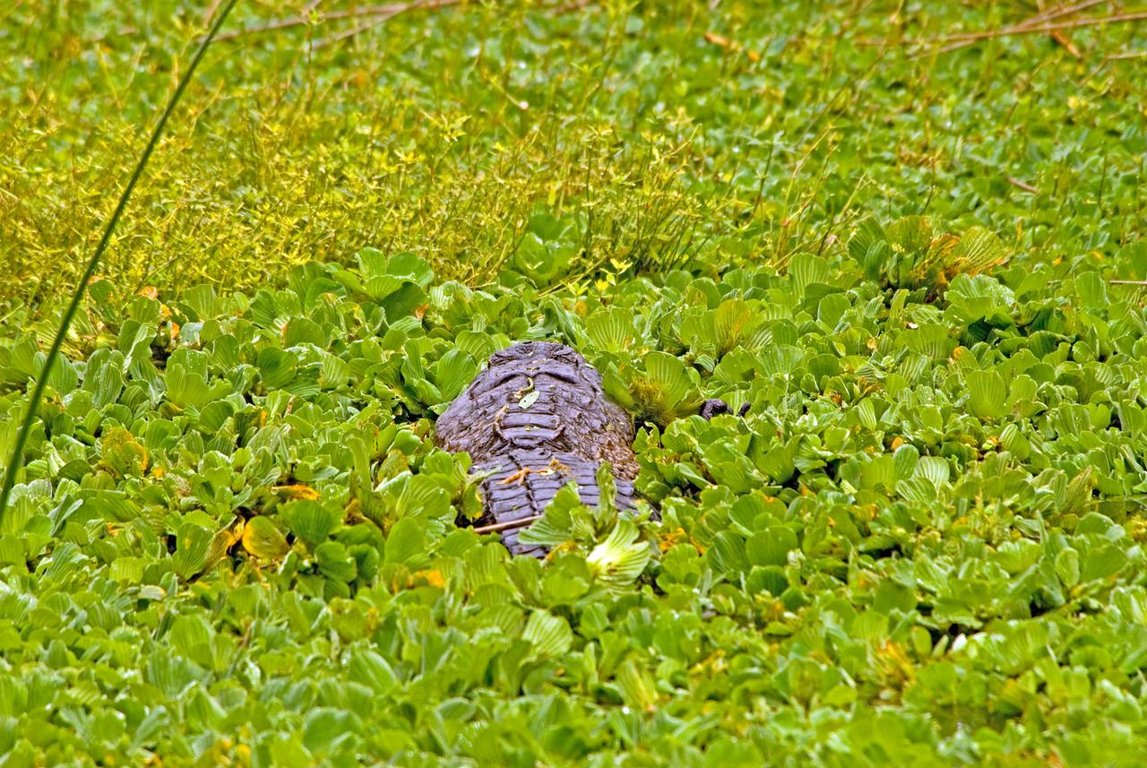 Alligator<br /> PHOTO CREDIT: M. Timothy O'Keefe / Florida Trail Association