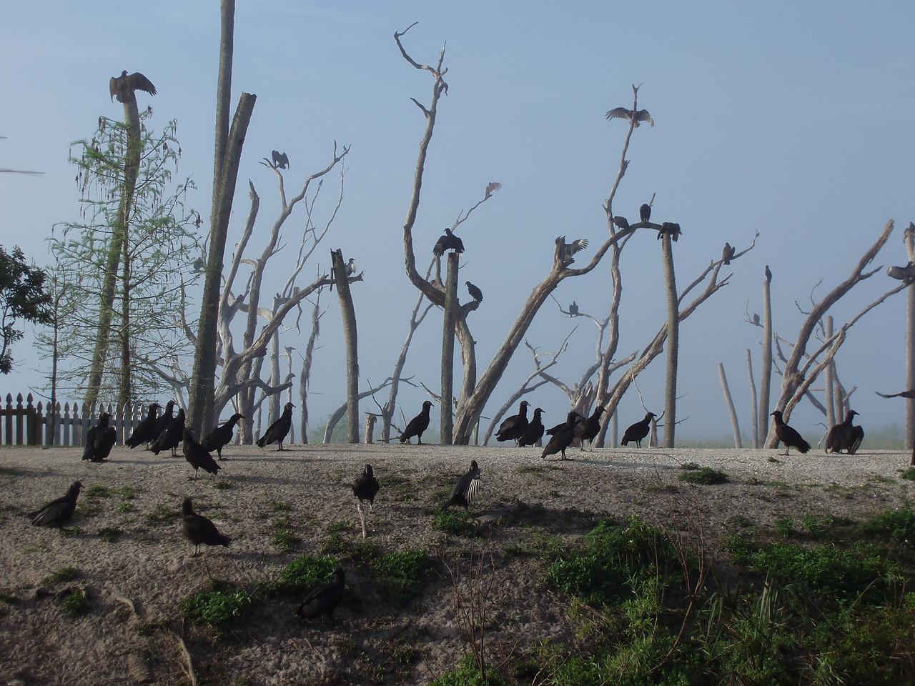 Lurking vultures<br /> PHOTO CREDIT: Robert Coveney / Florida Trail Association