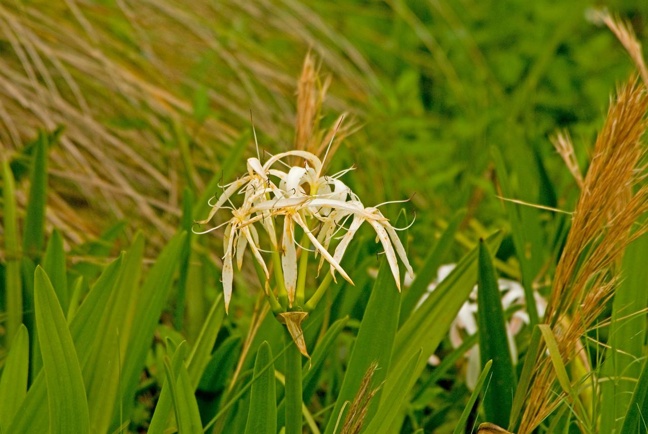 Swamp lilies<br /> PHOTO CREDIT: M. Timothy O'Keefe / Florida Trail Association