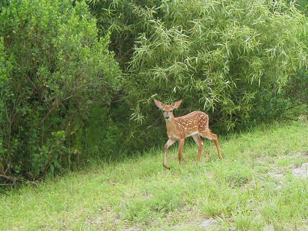 Young fawn<br /> PHOTO CREDIT: Deb Blick / Florida Trail Association