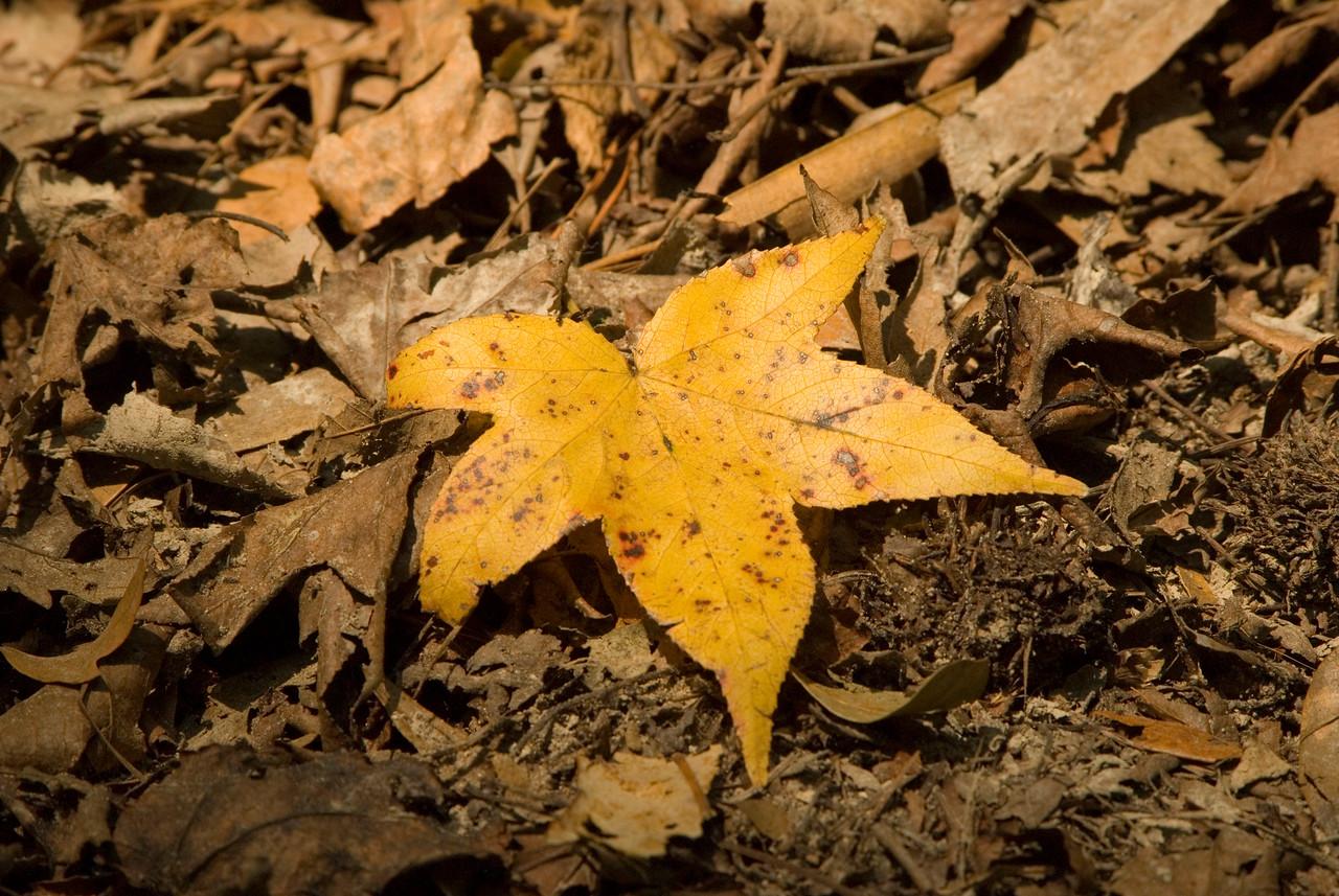 Sweet gum leaf<br /> PHOTO CREDIT: M. Timothy O'Keefe  / Florida Trail Association