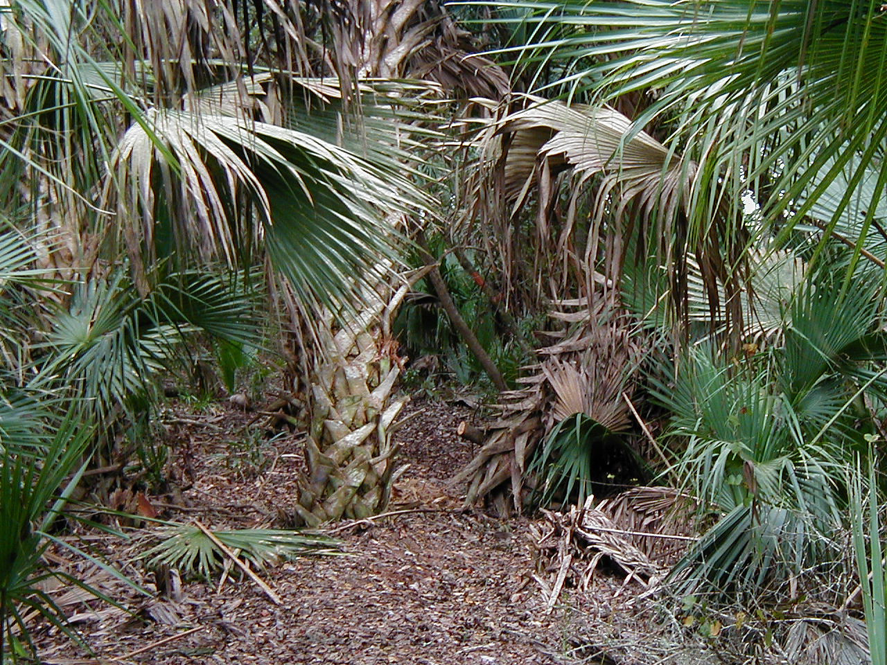 Florida Trail winds through a tangle of palm hammock in Seminole State Forest, west of Sanford along SR 46<br /> PHOTO CREDIT: Deb Blick / Florida Trail Association