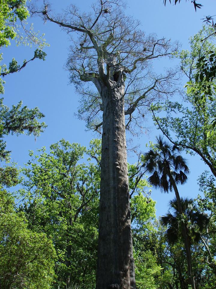 The Senator, Big Tree Park<br /> location: Longwood<br /> PHOTO CREDIT: Robert Coveney / Florida Trail Association