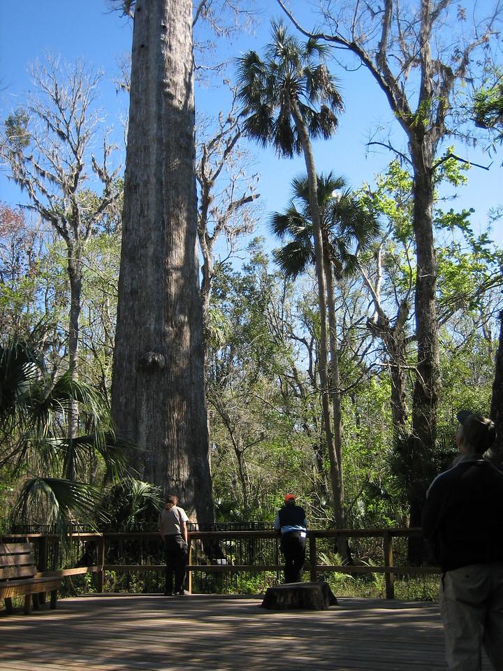 Hikers marvel at the Senator, Big Tree Park<br /> location: Longwood<br /> PHOTO CREDIT: Sandra Friend / Florida Trail Association