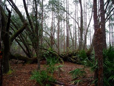 Split Oak Forest