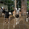 Central Mass Goat Rental in Lunenburg has goats they rent out to people that need vegetation taken care of in their yards. Some of the goats hang out at their farm located in Lunenburg. SENTINEL & ENTERPRISE/JOHN LOVE